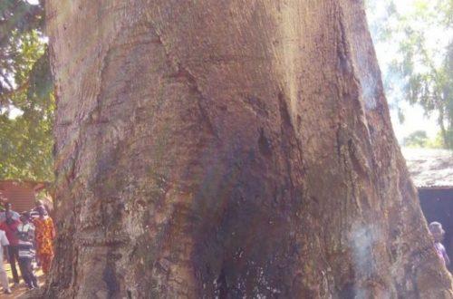 Article : BENIN: Fait insolite dans la ville d'Abomey, un arbre se met à consumer spontanément de l'intérieur.